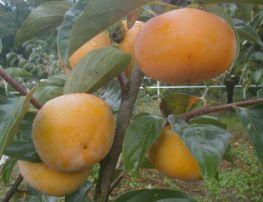 干し柿用「平種無し柿」3L 13kg